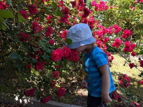 Даниел мирише рози