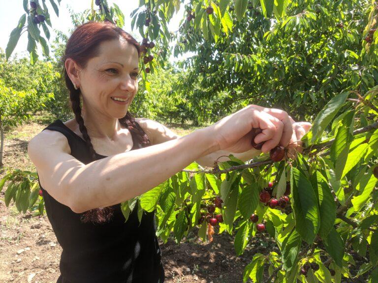 Бера череши в село Стенско